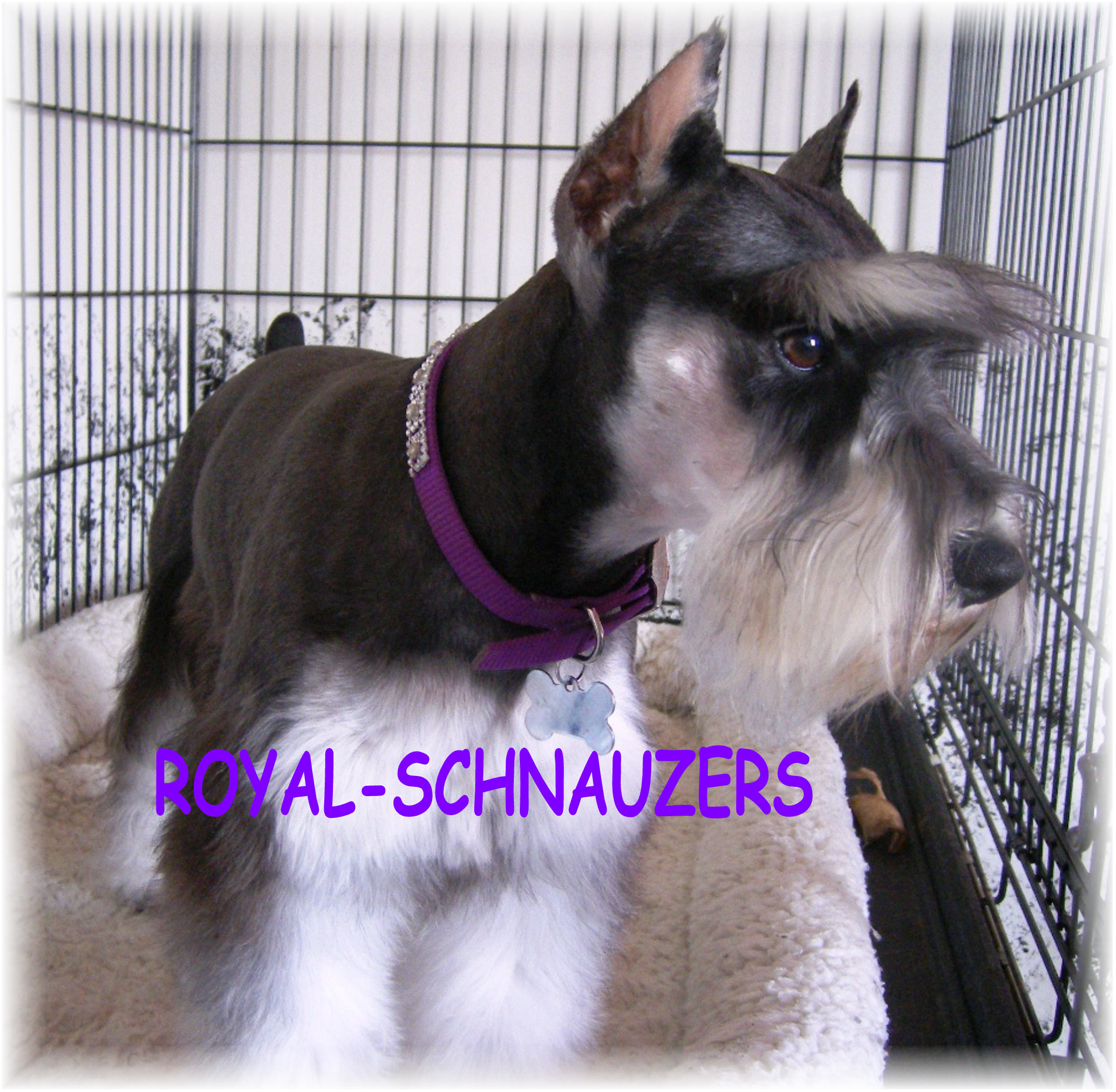 AKC phantom black and silver Toy Miniature Schnauzer puppy. White chocolate teacup miniature schnauzer dam. Liver pepper parti mini schnauzer champion dams and sires. Supercoated Utah and International