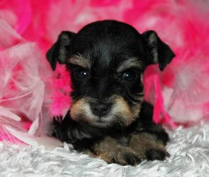 S/P Teacupblack silver white chocolate liver pepper phantom parti platinum mini schnauzer schnauzers shnauzers micro champion dams and sires, Miniature Toy Teacup Tcup Megacoated Supercoated Ultracoated Royal Utah International