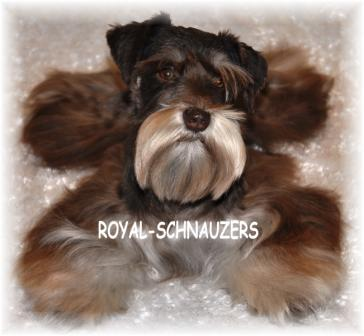 Liver and tan Miniature Toy Teacup Schnauzer puppy. Black and silver dam. White chocolate Sire. Liver pepper parti siblings. Mini schnauzer Utah. International schnauzers. Megacoated Supercoated Ultracoated Royal Utah International