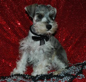 J'adoreblack silver white chocolate liver pepper phantom parti platinum mini schnauzer schnauzers shnauzers micro champion dams and sires, Miniature Toy Teacup Tcup Megacoated Supercoated Ultracoated Royal Utah International