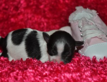 AKC Toy Miniature Schnauzer chocolate liver pepper puppy. Phantom liver parti dam. Phantom Black and Silver mini schnauzer sire. schnauzers shnauzers micro Miniature Toy Teacup Tcup Megacoated Supercoated