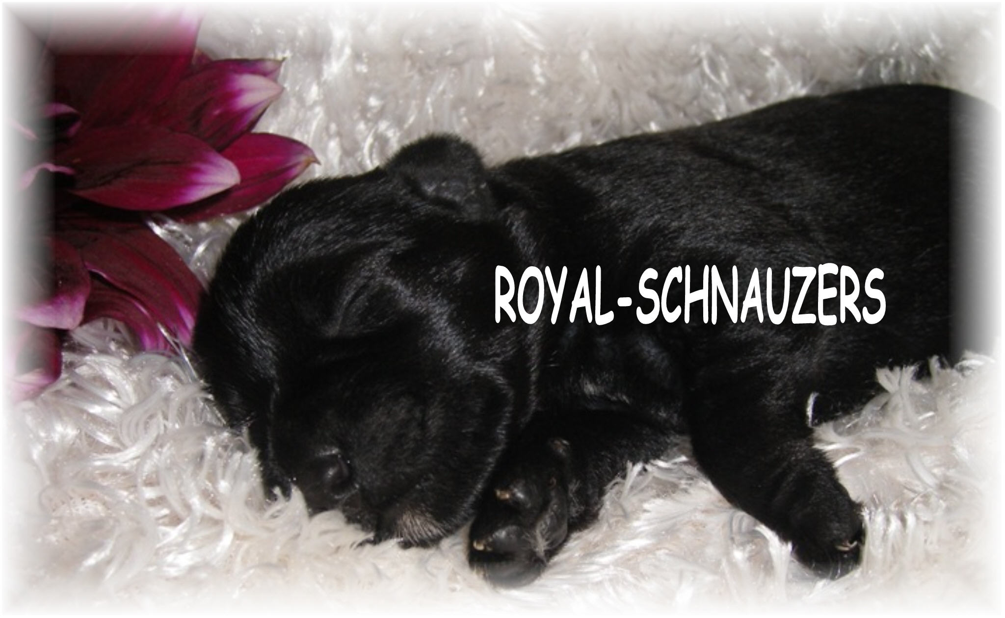 black mini schnauzer Toy Miniature shnauzers Tcup schnauzers with champion dams and sires. Megacoated Available puppies in Utah and International