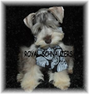 black silver white chocolate liver pepper phantom parti platinum mini schnauzer schnauzers shnauzers micro champion dams and sires, Miniature Toy Teacup Tcup Megacoated Supercoated Ultracoated Royal
