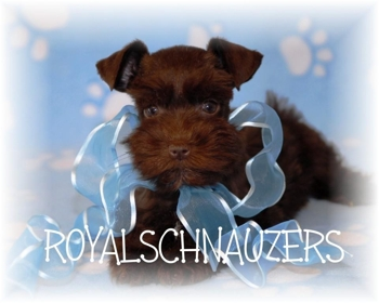 white Toy miniature schnauzer available puppy. Teacup schnauzers. Mini shnauzers and micro Tcups. champion dam and sire. Megacoated and Supercoated Utah and International