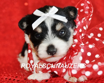 AKC Chocolate Miniature Toy Schnauzer. Liver Megacoated Teacup Schnauzer dam. Liver pepper Tiny Toy sire. Available puppies in Utah.