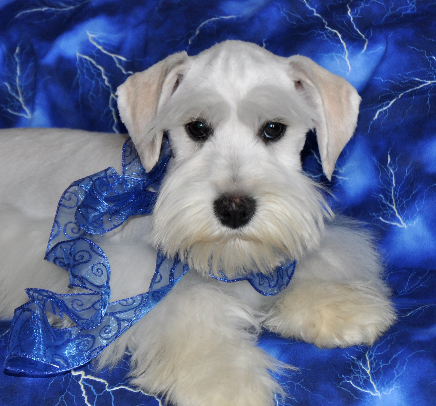 black and silver parti Teacup Toy Miniature Schnauzer. White chocolate supercoated toy dam. Liver pepper parti mini schnauzer sire. Champion shnauzers Ultracoated Royal Utah International