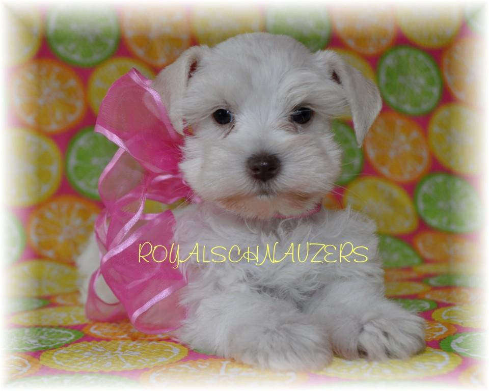 Ultra coat White chocolate Toy Miniature Schnauzer puppies. Platinum liver pepper Megacoated Dam. Chocolate parti supercoated sire. Mini schnauzer Puppies. shnauzer micro Tcup champion dams and sires.