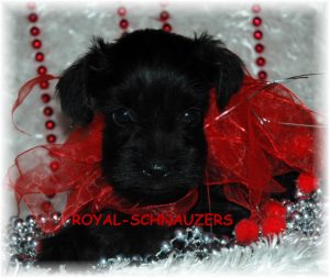 black silver white chocolate liver pepper phantom parti platinum mini schnauzer schnauzers shnauzers micro champion dams and sires, Miniature Toy Teacup Tcup Megacoated Supercoated Ultracoated Royal Utah International