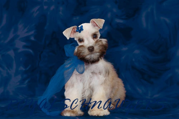Toy Miniature Teacup Schnauzer Breeder Utah Royal Schnauzers