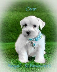 Schnauzer Puppy Colors - Royal Schnauzers Utah | royal